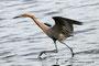 Reddish Egret; Blackpoint Wildlife Drive; Merrit Island; Florida