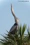 Great Blue Heron; Viera Wetlands; Melbourne; Florida