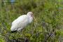 Ibis; Blackpoint Wildlife Drive; Merrit Island; Florida