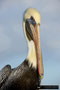 Brown Pelican; Fort Myers Beach, Florida