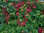 Herbstliche Farbkontraste an einer Grundstücksmauer in Dambach