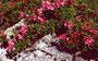 Alpenrosen im Auenfeld