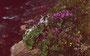 Blütenfülle an der jungen Bregenzerache, die in der Ostflanke der Mohnenfluh entspringt.