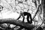 Manuel Antonio - Capucine monkey