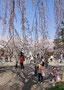 さくら部門入賞 1018「しだれ桜の下で」太田誠二