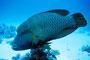 Napoleon-Lippfisch, Rotes Meer - Mangrove Bay/Ägypten