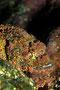Fransen-Drachenkopf, Rotes Meer - El Quseir/Ägypten