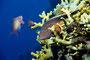 gestreifter Korallenwächter, Rotes Meer - El Quseir/Ägypten