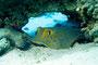 Blaupunkt-Stachelrochen, Rotes Meer - El Quseir/Ägypten
