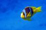 Rotmeer-Anemonenfisch, Rotes Meer - Ägypten