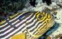 Orientalische Süßlippe mit Putzerfischen, Malediven