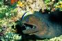 Riesenmuräne mit Putzerfisch, Indischer Ozean - Malediven