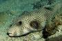Weißfleck-Kugelfisch, Rotes Meer - El Quseir/Ägypten
