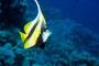 Wimpelfisch frißt Qualle, Rotes Meer - Ägypten