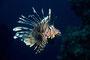 Rotfeuerfisch, Rotes Meer - El Quseir/Ägypten