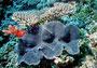 Tridacna Riffmuschel, Indischer Ozean - Malediven