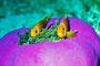 Anemonenfische, Indischer Ozean - Ellaidhoo/Malediven