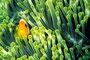 Anemonenfisch, Indischer Ozean - Ellaidhoo/Malediven