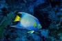 Diadem-Kaiserfisch, Karibik - Cayo Largo/Cuba