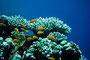 Rotmeer-Fahnenbarsche, Rotes Meer - El Quseir/Ägypten