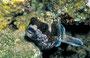 Maskenkugelfisch, Rotes Meer - El Quseir/Ägypten
