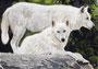 """Loups blancs/White wolves - Crayons de couleur/Colored pencils Faber-Castell""""polychromos"""" - A4 - Daler Rowney 220 g - Juillet 2013 - Ref photo de John Knight"""