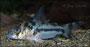 Corydoras boesemani - junges Tier