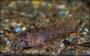 Corydoras boesemani Jungtierentwicklung