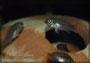 Pelvicachromis subocellatus matadi