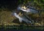 Corydoras boesemani Eiablage 2