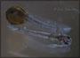 Corydoras boesemani Jungtierentwicklung - Schlupf