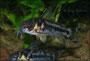 Corydoras boesemani Eiablage 4