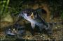 Corydoras boesemani Eiablage 3