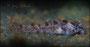 Corydoras boesemani Jungtierentwicklung - Jungtier