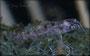 Corydoras boesemani Jungtierentwicklung - Larve