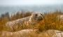 Helgoland - Kegelrobben - Bulle (3)