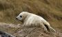 Helgoland - Kegelrobben - Aufmerksam (1)