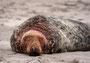 Helgoland - Kegelrobben - Nach dem Kampf