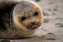 Helgoland - Kegelrobben - Einjährig