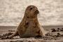 Helgoland - Kegelrobben - Überblick verschaffen