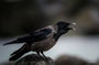 Helgoland -  Aaskrähe (Corvus corone)