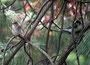 Grauschnäpper, IPMB, am Botanischen Garten, 27.06.08, (c) Micha Braun