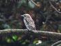 Juveniler Grauschnäpper, IPMB, am Botanischen Garten, 27.06.08, (c) Micha Braun