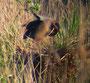 Purpurreiher auf Nest, 12.05.2008, Wagbachniederung, (c) Micha Braun