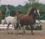 Welsh B Ramonshof Rico, geb. 2000, V: PRH Haardijk`s Ramon, M: Mickey, MV: Twyford Anzac