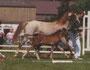 Welsh B Ramonshof Reico, geb. 2004, V: PRH Haardijk`s Ramon, M: Nora, MV: Cawador Sir Horace