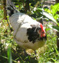 Lakenfelder Huhn