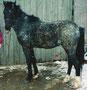 Welsh PB Ramonshof Rebel geb. 2001, V: PRH Haardijk`s Ramon, M: Velvett
