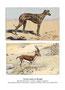 Sloughi 6 (repro planche Livre illustré par Malher, et aquarelle HLG, coll. Manializa)