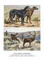 Scottish deerhound 3 (repro planche d'un livre illustré par Malher, coll. Manializa)